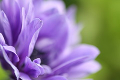 It is important to remember that we all have magic inside us. (The.StoryKeeper) Tags: flower macro blogged pps jkrowling perfectpurplesaturday