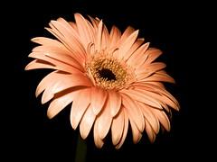 Gerbera Daisy - Part XI (carollynfaire) Tags: macro coral daisies garden petals peach petal daisy gerberadaisies singleflower gerberadaisy cutflowers flowersonblack peachpink gerberadaisiesonblack