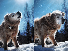 Shake it o baby now... (ADIDA FALLEN ANGEL) Tags: trees winter dog sun snow canada water animal hair fur outside nikon dof bokeh pat horizon twist shake doggy rays sunrays d40 partials