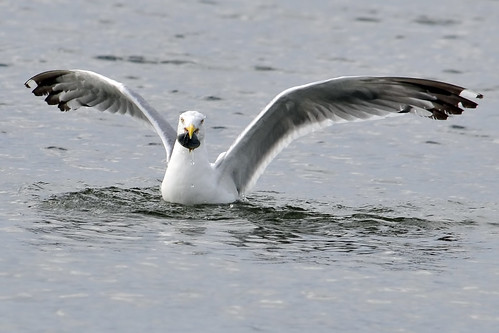 gull catches clam 2