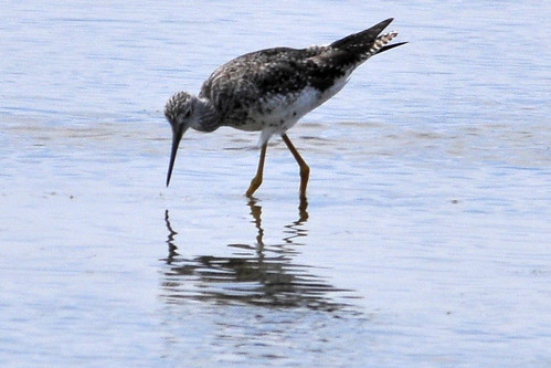 Dance of the Yellowlegs 3