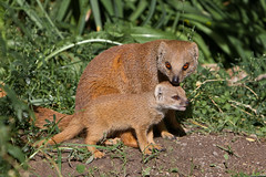 Blijdorp-5549 (Arie van Tilborg) Tags: zoo blijdorp cynictispenicillata mangoest vosmangoest zoogdier arievantilborg