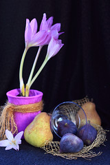 Naked Ladies With Figs (panga_ua) Tags: flowers blue stilllife black color canon paper golden dof pears bokeh availablelight band lavender crocus ukraine fabric hues delicate floralarrangement netting figs colchicum colchicums secretlife naturemorte majenta crocuses draping earlyfall bodegones nakedladies meadowsaffron autumncrocus colchicaceae 50d colchicumautumnale magicalplant autumnblooming fallblooming nataliepanga  waterlilylikeblossoms rosylilac  nakedladieswithfigs