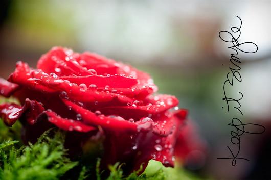red_rose_2