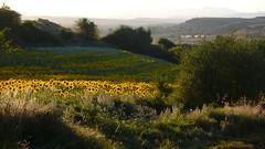 Soles y girasoles (vcastelo) Tags: espaa sol atardecer spain montaa puesta campos pomar palencia girasoles revilla palentina