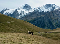 Moo (will_cyclist) Tags: france alps cycling bourgoisans souchet cowsx
