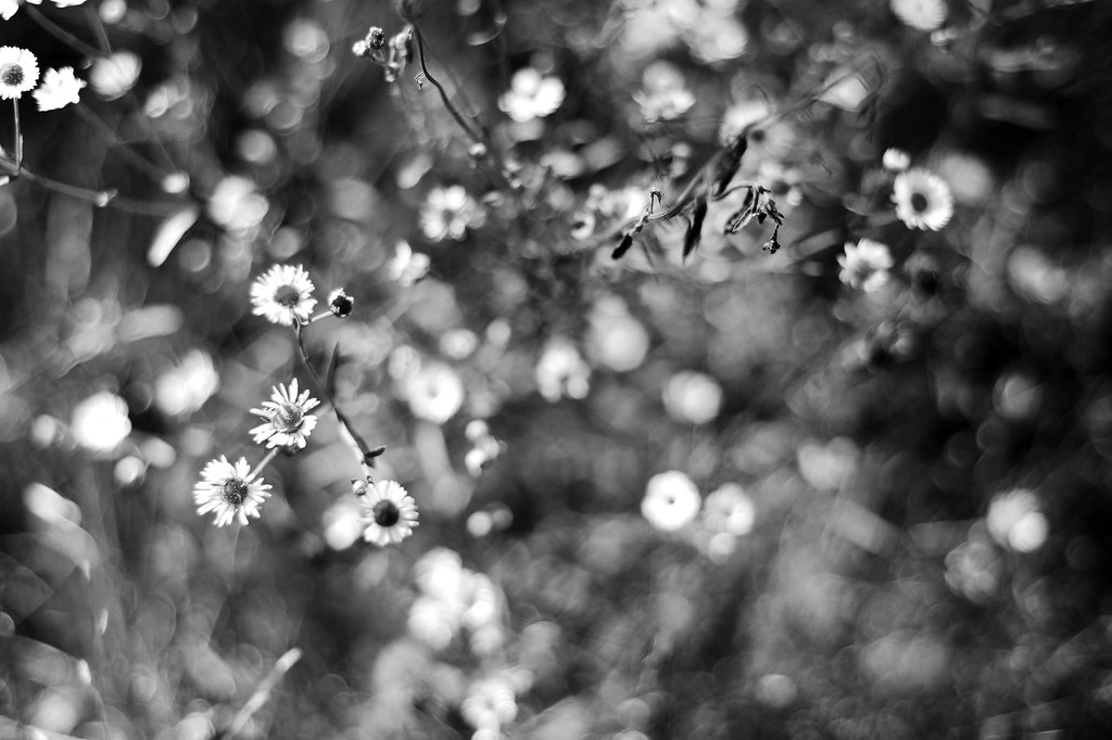 Black and white daisy flowers with bokeh.