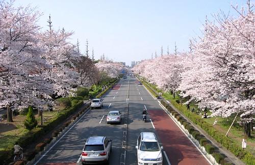 国立駅南口大学通りの桜 2009年4月6日 by Poran111