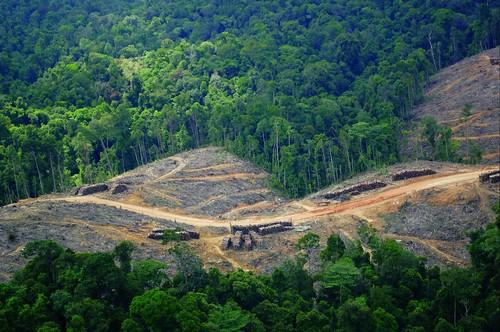 印尼蘇門答臘熱帶雨林中被金光集團破壞的森林面積持續擴大中。佔地50多萬公頃的Bukit Tigapuluh,其中有144,000公頃被劃為Bukit Tigapuluh國家公園。Bukit Tigapuluh被指定為全球二十個優先老虎保育的重要基地之一,也是極度瀕危的蘇門答臘虎最後的庇護所。