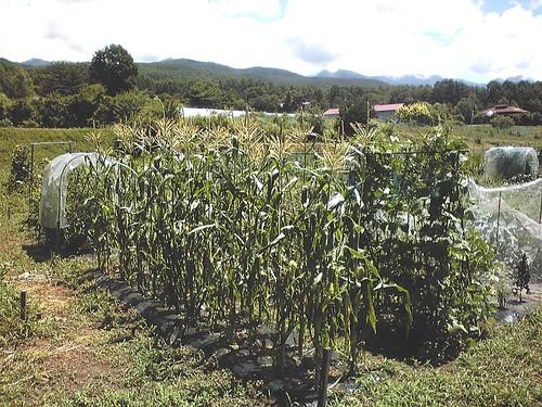 夏の畑/トウモロコシ、エンドウ、インゲンなど 2010年8月5日11:53 by Poran111