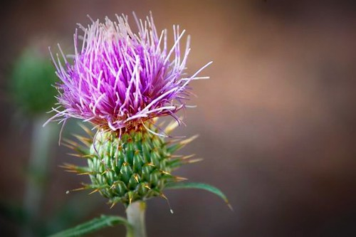 purple prickly flower