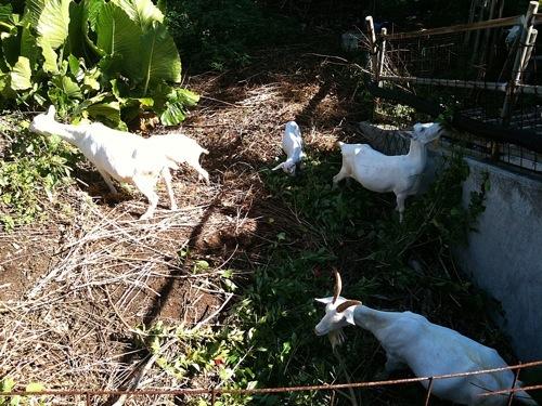 山羊料理は沖縄ではご馳走だ。