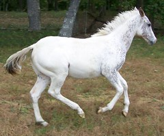 Chestnut/white Filly Sweet! Lots OF Color! * Pretty! (LOMtnMom) Tags: ranch horses horse white animal animals photo appaloosa athletic mare forsale image performance pic tags foundation trail flashy beginner fpd trailriding filly foal eventing allaround colorproducer fewspot fewspotappaloosafillyforsale equinenow:user=34104 geo:lat=345795282 geo:lon=855905204