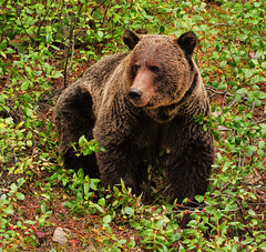 Potrait of a Grizzly (Jeff Clow) Tags: bear vacation canada wildlife grizzly lakelouise albertacanada banffnationalpark abigfave