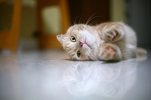 cute munchkin tabby kitten stretching cat pic