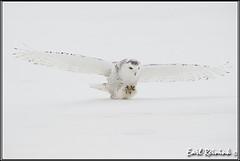 20100310-0687 Snowy Owl (Earl Reinink) Tags: raptor snowyowl snowyowlinflight earlreinink wwwearlreininkcom wwwipaintca