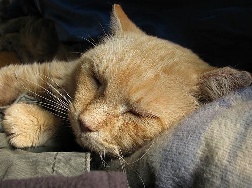cute ginger cat snoozing
