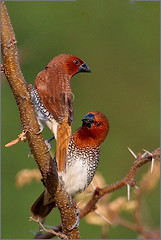 Scaly-breasted Munia (Sara-D) Tags: nature birds canon wildlife aves spotted srilanka ceylon munia sarad scalybreastedmunia scalybreasted lonchurapunctulata estrildidae lonchura punctulata spottedmunia asianwildlife saranga kalawewa birdsofsrilanka sarangadevadealwis birdsofsouthasia wildsrilanka sarangadeva