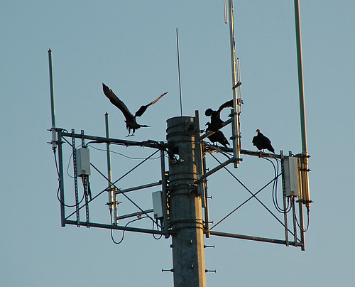 vulture perch 1