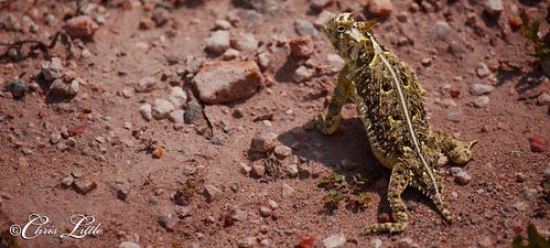 horned lizard ws