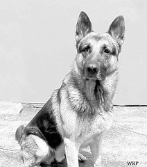 A PROUD BOY (Ebiker) Tags: bear dog smart play watch guard handsome sharp ready hunter germanshepherd freind alert courage defender gaurd steady gsd germanshepherddog highstrung seious germanshepherddoggsd googleeyeddog