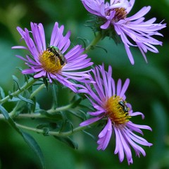 Two sweat bees