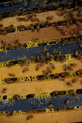 Inside the honey bee hive