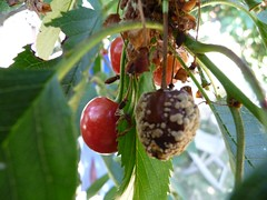 The old and the new (la Ezwa) Tags: red leaves fruit cherry rouge cherries belgium belgique belgië rotten cerise feuilles ripe 2010 prunus pourri mûr provincedeliège ezwa luikprovincie principautédeliège prinsbisdomluik princebishopricofliège