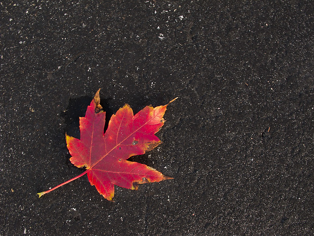 Lonely Maple Leaf