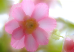 Begonia (h orihashi) Tags: flower macro beautiful japan pentax 日本 softfocus sensational 花 musictomyeyes k7 naturesfinest blueribbonwinner coth supershot bej ソフト fineartphotos abigfave diamondheart colorphotoaward flickrhearts flickraward diamondclassphotographer flickrdiamond citrit heartawards diamondstars justpentax everydayissunday flickrestrellas therubyawards damniwishidtakenthat theperfectpinkdiamond pentaxart pentaxk7 mamasbloomers hennysgardens naturallywonderful photoscalendarawards