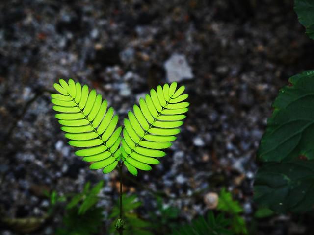 IMG_8532 Mimosa Leaves