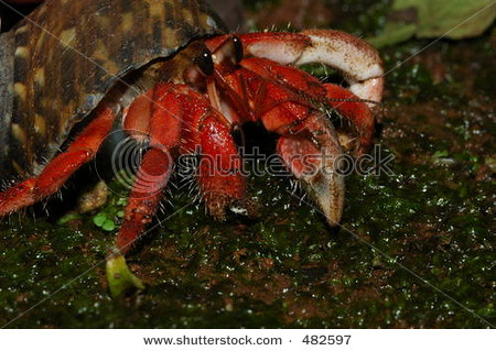 stock-photo-red-land-hermit-crab-from-the-south-coast-of-java-island-indonesia-coenobita-rugosa-482597