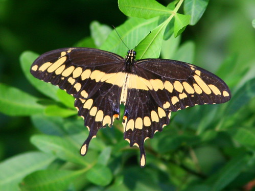Giant Swallowtail 20100926