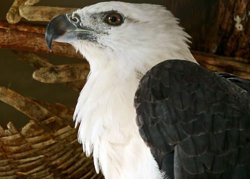 White Crested Eagle
