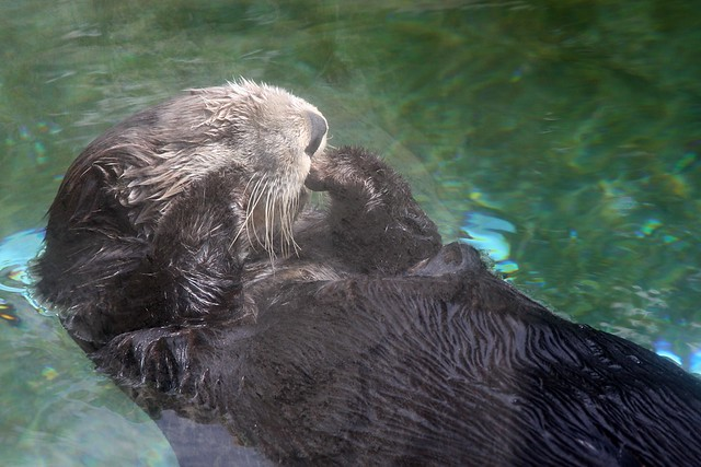 Sea Otter, Oregon Coast Aquarium