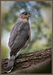 Cooper's Hawk (TT_MAC) Tags: bird nature hawk wildlife raptor coopershawk accipitercooperii bej specanimal victorabc anawesomeshot