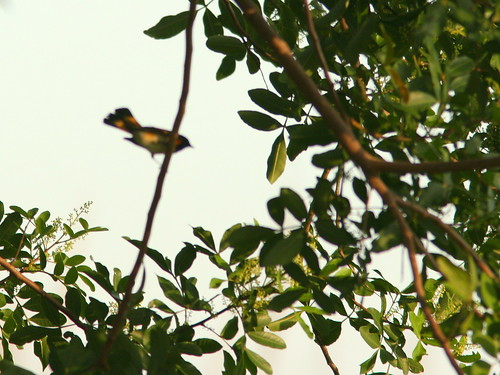 American Redstart out-of-focus 20100926