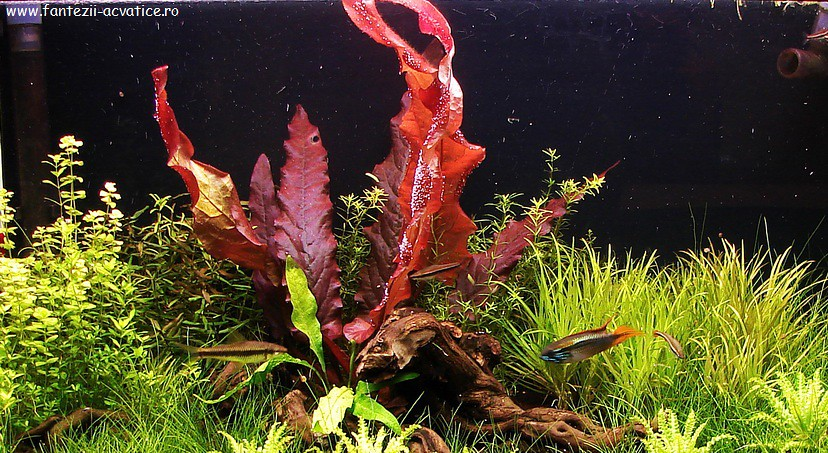Barclaya longifolia 'red'