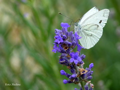 The true love of the butterfly.  (in Explore and on Front Page) (Nadine V.) Tags: flower macro nature butterfly insect bravo lavender natuur panasonic explore nophotoshop frontpage vlinder bloem lavendel pierisrapae cabbagewhite koolwitje knollenwitje fz38 panasonicdmcfz38 fz35