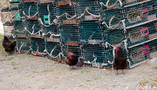 chickens and lobster traps