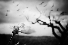 (Effe.Effe) Tags: bw flower monochrome birds rose petals mood wind rosa bn deadtree fiore albero petali vento