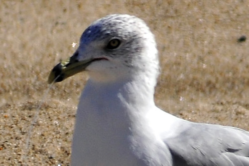 gull fishing line closeup
