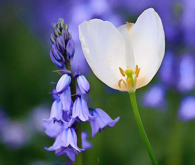 Bluebell & tulip.