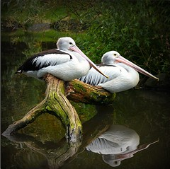 resting pelicans (yorkiemimi) Tags: animal bird pelican nature wildlife reflection water white wood green square couple walsrode