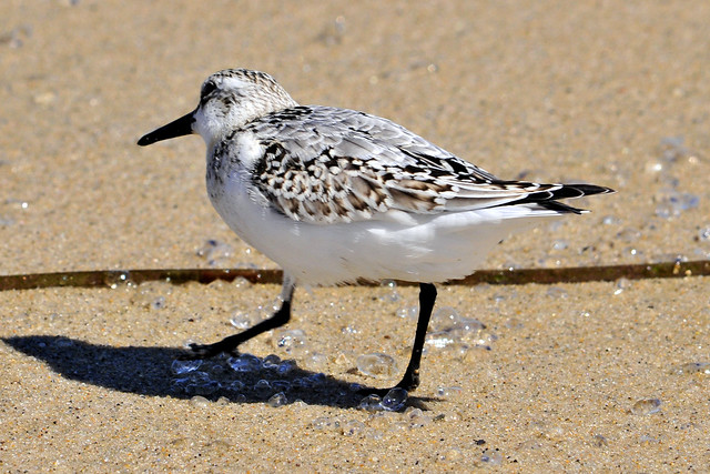 sanderling bubbles 3
