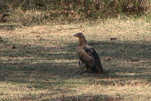 Immature Palm-nut Vulture