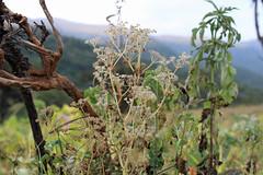"Ammi majus ""or"" Daucus carota - نبات الخلة أو الجزر البري"