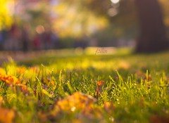 (zitronenkojote) Tags: bokeh bokehwhore fallautumnherbstblttergrasbaumparktreeleaveleavessoestgrftewall