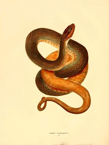004-Coluber erythogaster-North American herpetology…1842-Joh Edwards Holbrook