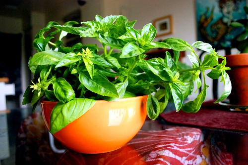 Home grown Basil